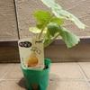 コリンキーとバターナッツ ~カボチャ2種類の定植