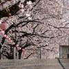 sakura walk