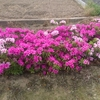 平戸ツツジ満開と緑化植栽 杜の都
