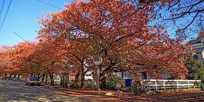 宇治川の桜、秋になると真っ赤になって綺麗なのだ