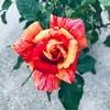 月命日に咲いたミニバラ