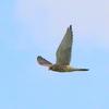印旛沼上空を飛ぶチョウゲンボウ