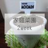 【バジル栽培2週目】初心者でもうまくやれるぞ!