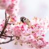 熱海桜とスズメ