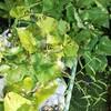 袋栽培のさつまいも&サトイモ収穫祭