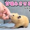 【ハムスター 動画】最近噛んでくれない!と悩んでる方へ、噛まれる方法を教えます!【ジャンガリアン・ゴールデンハムスター】