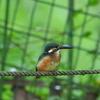 「M.ZD 300mm F4.0 IS PRO」とテレコン2つで鳥を撮ってきた。[カイツブリ][スッポン][カワセミ][ハス][トンボ]