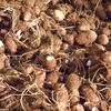 援農:引き続き里芋の収穫