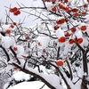 柿の木 冬 写真素材