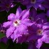 紫色の鉄線(クレマチス)