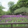 【写真館】梅雨の季節と言えば 花菖蒲とあじさい