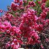 春陽気に反応して花木が満開に、・・・・