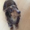 愛犬トイプードル・タンタンとカニンヘンダックスフンド・ライの一日