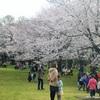 小金井公園もソメイヨシノ満開 花見客繰り出す