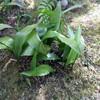 初めて見たハランの花