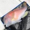 【魚種追加】タイラバで釣れた魚たち2