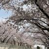 無心に咲く桜