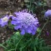 青いタンポポって風情で揺れるスカビオサ ピンクッション ブルー