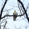 アトリ・アオバト・カワセミ・ヤマガラ・ハイタカ (大阪城野鳥探鳥 20200208 6:40-12:05)