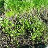 あまり種を、ばらまいて育ったホーレン草の救出作戦です。
