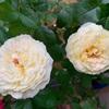 いま咲いてる花と薬剤使用のこと
