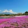 【富士山】芝桜を見に行ったのはもう10年も前なんだ。。。 2019/06/04