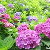 京都府立植物園最強!植物園は今年もあじさいが綺麗でした!