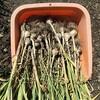 ニンニクの収穫と保存 ~Garlic harvesting and preserve