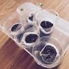 【水耕栽培】二十日大根 間引きとカップ追加