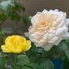 バラの二番花たちとかげろうたまご