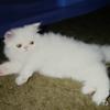 白い猫の夢を連続で見た! 夢占いしてみよう!