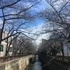 【目黒川】中目黒の桜 開花状況【2018年3月3日】