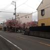 桜の時期到来を告げる地域の桜 静岡大浜街道