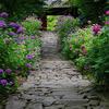 本光寺の清楚に咲く紫陽花