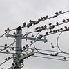ムクドリ集団が、電線にとまっている。