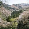 吉野の桜が日本一の理由
