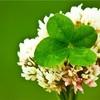 【幸せの四つ葉のクローバー】意外と知られていない豆知識まとめ