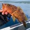 真鯛にキジハタ!残暑のタイラバ釣行。
