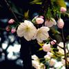 千里香(センリコウ)/桜(散歩写真)
