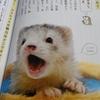 幸せなフェレットの育て方レビュー!フェレットを飼いたい初心者におすすめの一冊!【書評】