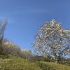 「マダム倶楽部」活動報告 コブシとハクモクレン、そして春の恵みと野鳥♪  3月12日