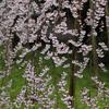 醍醐寺(雨の枝垂れ桜)