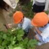 ミニ大根・ラディッシュ収穫