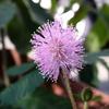 オジギソウの花が咲いた