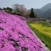 芝桜と菜の花、美しさ競演 美里町の国道沿い