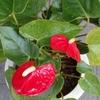 アンスリウムの花と・・・
