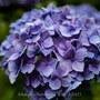 【Leica Q2・仙台】今年も資福寺の紫陽花は綺麗でした。  June 2021