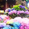 白山神社のアジサイ祭り&小石川植物園
