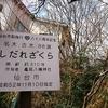 亀岡八幡宮 枝下桜 三分咲き