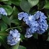 法金剛院の紫陽花、見ごろと開花状況。